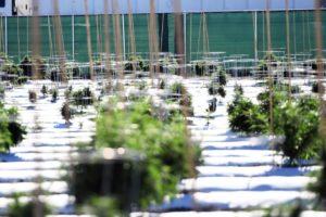 Cannabis Plantation Farm