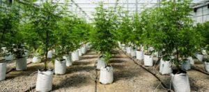 Cannabis Flower Farm